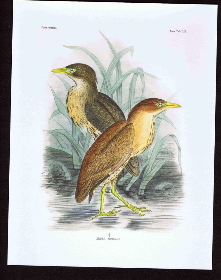 Japanese Night Heron Ardea Goisagi Color Bird Print | eBay