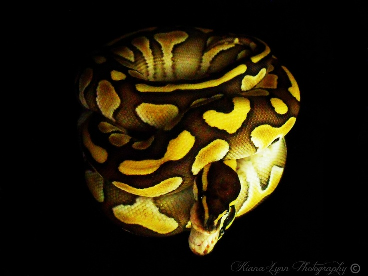 Lesser ball python on mirror with black background.
