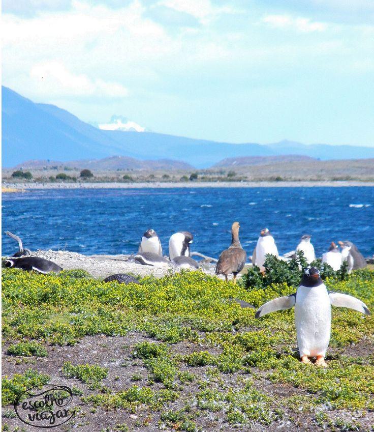 No meio do Fin del Mundo tinha um pinguim. Quer dizer... no meio do Fin del Mundo existia uma ilha de pinguins :) Em Ushuaia existe uma ilha de pinguins que pode ser visitada em um bate e volta de uma hora de navegação.