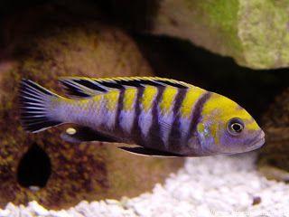 Cynotilapia afra é um peixe da família Cichlidae. É nativo do Lagi Malawi. Assim como vários outros ciclídeos, essa espécie é agressiva e teritorial, e em aquário só pode ser mantido com representantes da mesma espécie ou com peixes Mbuma.