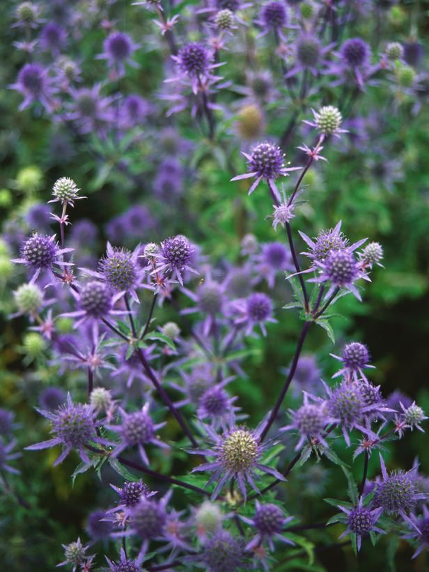 sea holly grows well in cooler climates