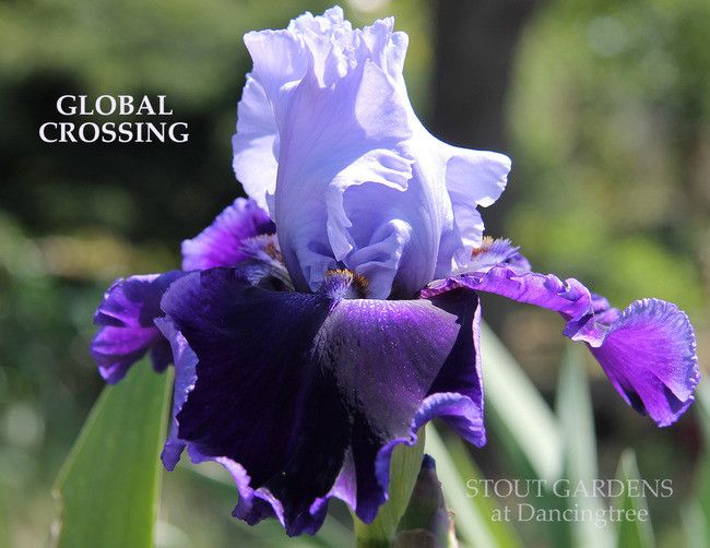 Iris GLOBAL CROSSING