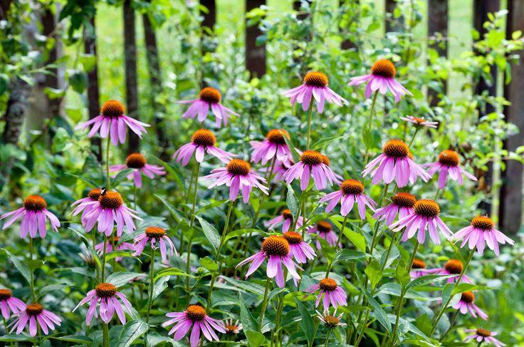 Echinacea, släktet solhattar, kallas även för rudbeckia. Under vilket namn du än införskaffar dig en så kommer den att ge dig mycket glädje. Solhattar är lättskötta och tacksamma perenner, som älskas av bin och fjärilar.