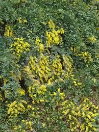 Image result for Acacia baileyana prostrate