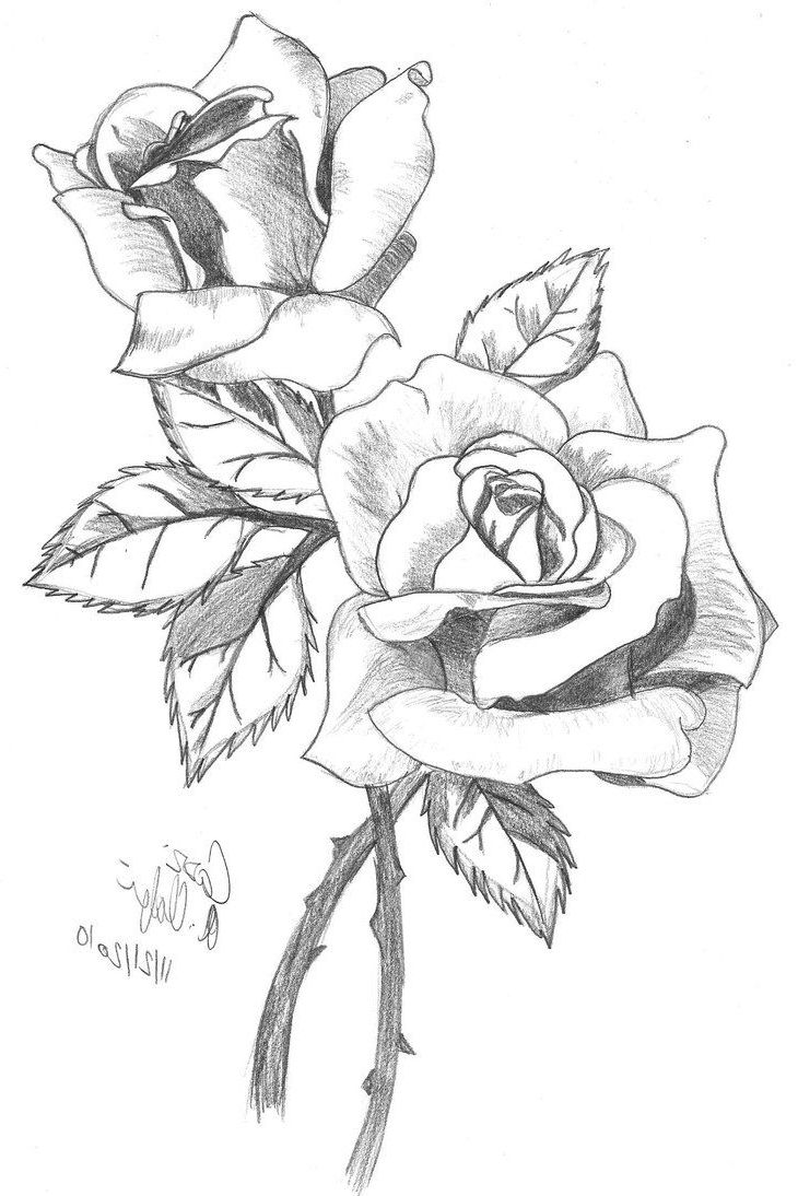 730x1094 full hd rose line drawing photo 3d best rose