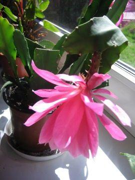 Epifilum, Epiphyllum,. Orchid cactus, Jungle cactus, uprawa epifilum,  rośliny do domu, rośliny doniczkowe, rośliny pokojowe, rośliny kwitnące latem, rośliny o efektownych kwiatach, sukulenty, rośliny łatwe w uprawie, sukulenty, rośliny o ozdobnych kwiatach, na balkony i tarasy