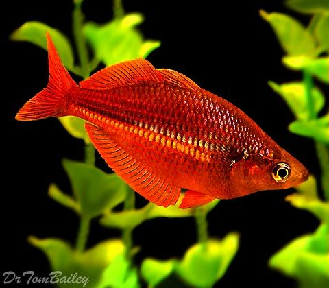 """Rainbow Fish for sale Premium Neon Rainbow Pictures: above: a 1.5"""" Neon Rainbowfish just like the ones we ship, below: a 2"""" Neon Rainbowfish that we raised up here with lots of tender lovin' care and lots of premium fish food. Click on these pictures to see bigger pictures. Premium Neon Rainbow, 1.5"""" to 2"""" long 5.89"""