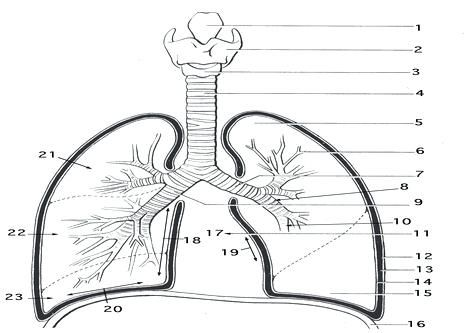 respiratory system coloring page coloring trend medium