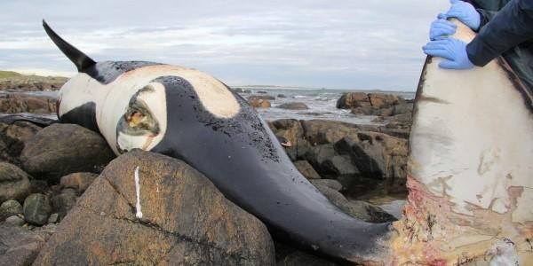 Nel suo corpo è stata ritrovata una delle concentrazioni più elevate di inquinanti PCB mai registrati nei mammiferi marini. È l'orca assassina, trovata morta sull'isola di Tiree, nell'Atlantico, dallo Scottish Marine Animal Stranding Scheme