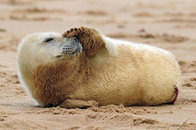 Grey seals have made their way to Horsey Beach in Norfolk to give birth to their pups after a year of pregnancy. Locals have been able to witness the cute cubs as they first come into the world, a sight rarely seen outside the realm of wildlife documentaries.