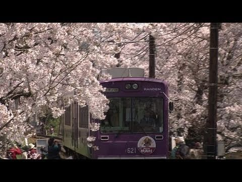桜のトンネル 京都/嵐電 Cherry blossom tunnel Kyoto, Japan