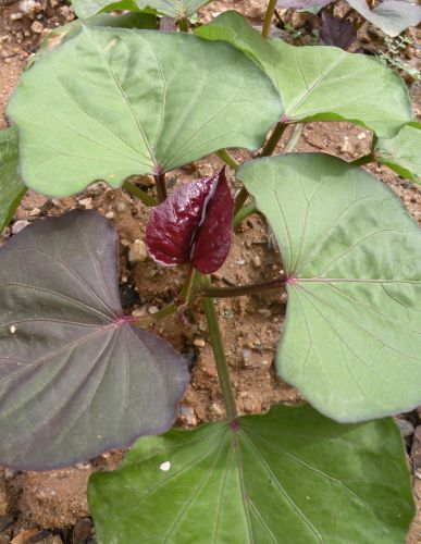 how to grow sweet potatoes in arizona