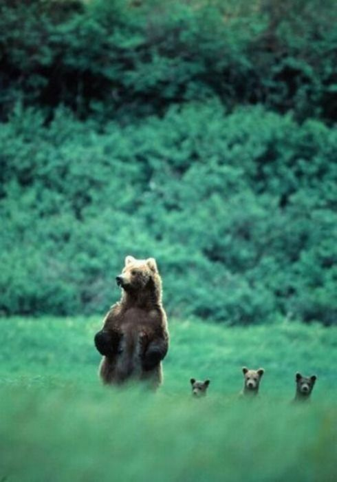 I love this picture but I wouldn't want to be the person close enough to take a picture of a mama bear with her cubs.
