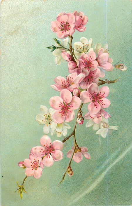fruit blossom, mostly pink but some white flowers; spring cherry blossoms; vintage graphic