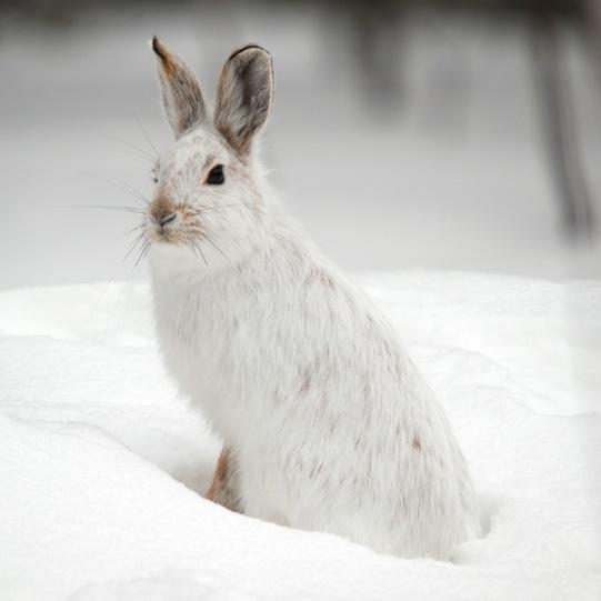 winter snowshoe hare lepus americanus rabbits hares. Black Bedroom Furniture Sets. Home Design Ideas