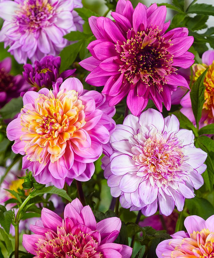 Dalii cu flori de anemone - Mix | Bulbi | Gradina Bakker Olanda