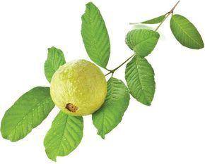 Guava is a super fruit. Here are 17 Benefits of Guava Leaves