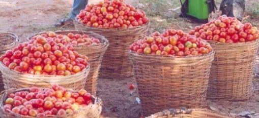 Memoire Online - Analyse comparée du revenu et de sa distribution entre les producteurs de tomate utilisant les biopesticides et les pesticides chimiques en zone périurbaine du Sud Bénin - Christhel Sonia Jésugnon PADONOU