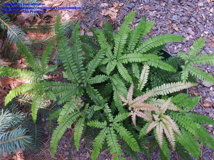 View picture of Rough Maidenhair Fern, Rosy Maidenhair Fern (Adiantum hispidulum) at Dave's Garden. All pictures are contributed by our community.
