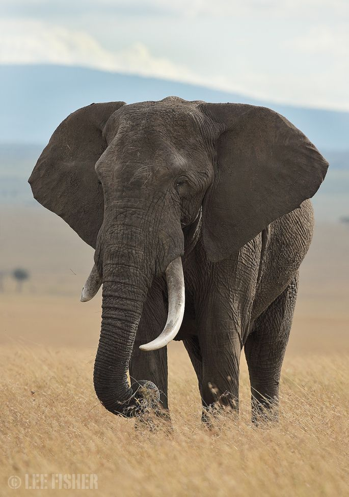 AFRICAN ELEPHANT - The most beautiful animals!!!! <3