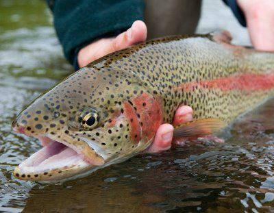 Trout catch and release