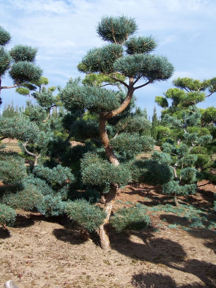 japanese black pine thunderhead Google Search (With