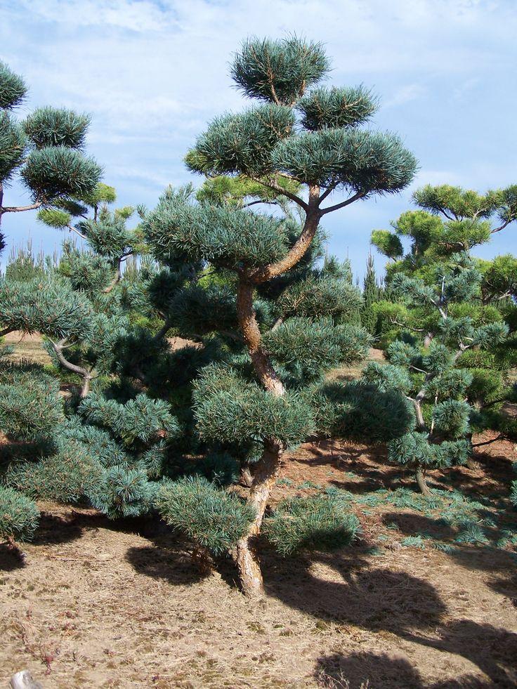 Japanese Black Pine Thunderhead - Google Search