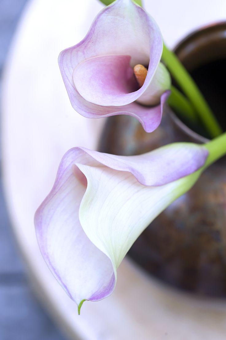 De Calla heeft verschillende symbolische betekenissen. Hij wordt gezien als bloem van zuiverheid en sympathie en staat voor schoonheid. #Calla #Zantedeschia #mwbd