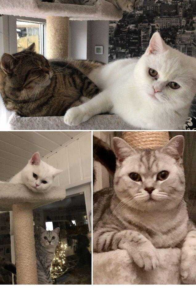 Pin Von Bjorn Auf Britisch Kurzhaar Katzen Kurzhaar Katzen Britisch Kurzhaar Katzen