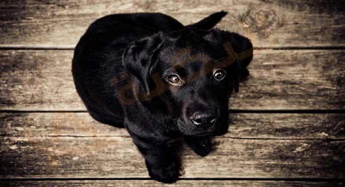 تفسير حلم رؤية الكلب الأسود في المنام معنى الكلب الأسود الكبير في الحلم للعزباء والمتزوجة والحامل دلالات عضة الك Labrador Retriever Black Puppy Cheap Puppies