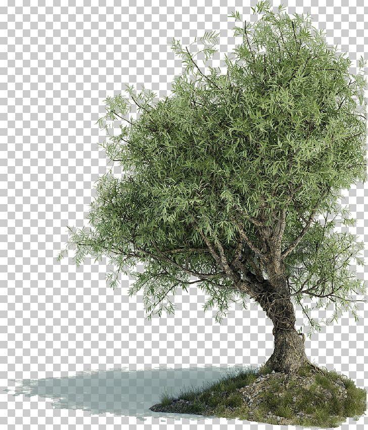 Greek Cuisine Olive Leaf Olive Oil Tree Oleuropein Png Branch Cailletier Evergreen Extract Food Drinks Olive Plant Olive Leaf Olive