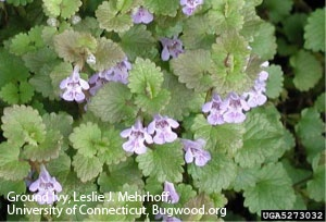 Creeping Charlie or Ground Ivy is a very horrible weed. It is very hard to control. Creeping Charlie is a perennial broadleaf weed, meaning that it comes back every year. This weed is also best controlled in the fall with 2 or 3 applications in September and October. For a homeowner, broadleaf herbicides containing Triclopyr as the active ingredient will have the best control on this weed.