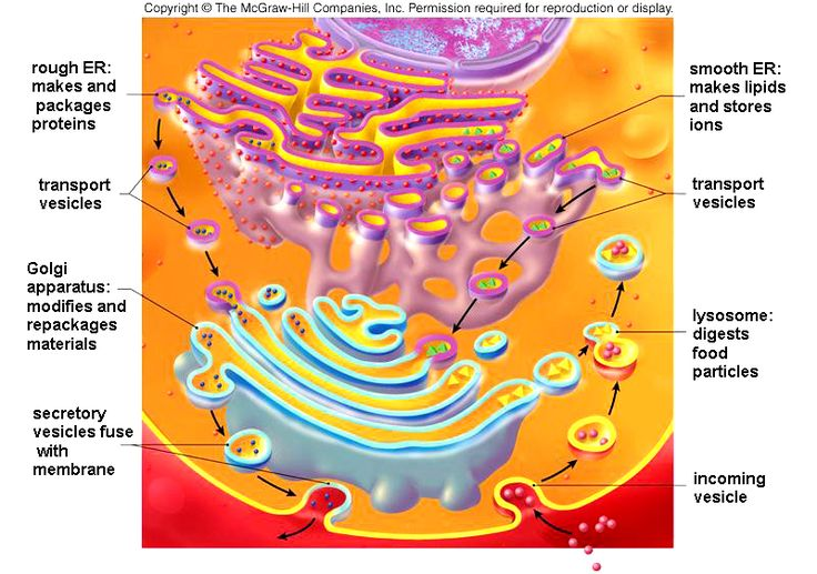 The endomembrane system has four components.  1. The nuclear membrane  2. The endoplasmic reticulumtext annotation indicator (ER)  3. The Golgi apparatus  4. Membranous sacs called vesicles  This system compartmentalizes the cell and carries molecules from one part of the system to another part.