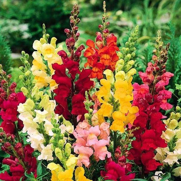 #GuraLeului este o lanta cu origine mediteraneana cultivata mult ca decorativa cu flori umplute uriase care aproape ca nu mai arata ca gura leului. Florile deschise, umplute si mari sunt foarte decorative taiate in vaza. Gura leului nu este pretentioasa la caldura. Florile sunt bilabiate, mari, grupate în inflorescenţe terminale tip racem spiciform. O gaziti la #Pestre la numai 1,98 lei http://bit.ly/1Cwgrqm