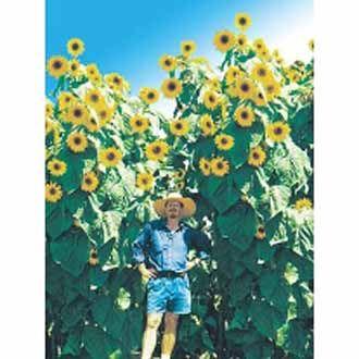 Sun Flower Kong F1 Tinggi bisa mencapai 2 meter lebih, bunga berukuran cukup besar dan cantik. Minat? sms ke 082214890085