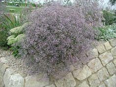 Limonium latifolium - Blauer Strandflieder