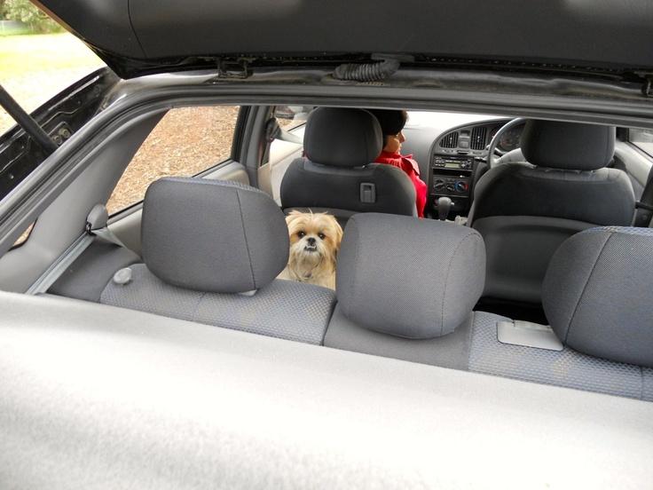 Pixel - Best Guard dog! #dog #melbourne