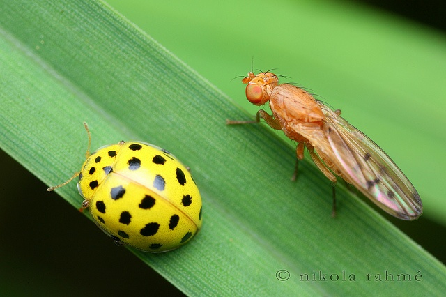 Odd couple  Sometimes you can find insects together even though they are belonging to different order. I took this single shot this summer, with the Canon MP-E 65/2.8 macro lens at around 3:1 magnification. The yellow ladybug is Psyllobora vigintiduopunctata, fly is Opomyza florum.