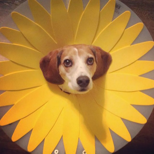 Best Dog Cone Ideas On Pinterest Dog Cone Collar Best Dog - Dog portrait photography shows how they hate wearing the cone of shame
