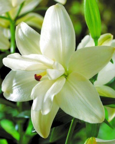 Liliomok - FEXIN Virághagyma Webáruház virághagymák, virághagyma rendelés…
