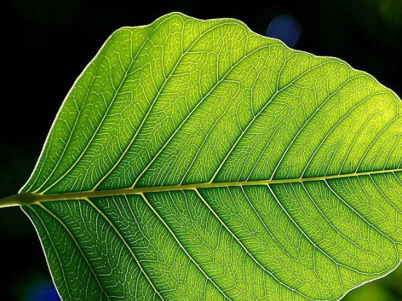 """HARVESTING ELECTRICITY from PLANTS — Researchers @ Univ of Georgia  have developed a way to """"interrupt"""" photosynthesis & redirect d electrons before they are used 2 make sugars, important discovery because photosynthetic plants function at nearly 100% quantum efficiency, almost every photon of sunlight that is captured by the plant is converted into an electron (most solar cells of today operate @ 12-17%, potentially a huge improvement in efficiency for solar energy generation.)"""
