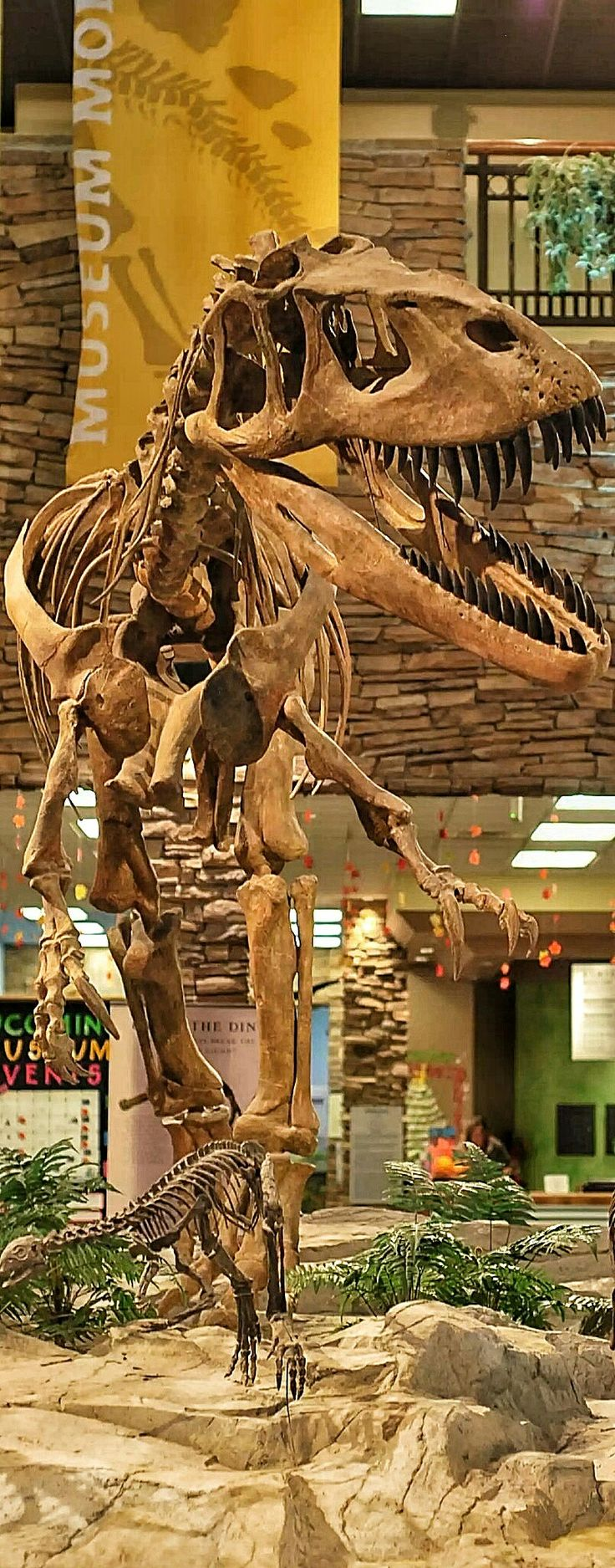 Torvosaurus is a genus of carnivorous megalosaurid theropod dinosaurs that lived approximately 153 to 148 million years ago during the later part of the Jurassic Period in what is now Colorado and Portugal. It contains two currently recognized species, Torvosaurus tanneri and Torvosaurus gurneyi