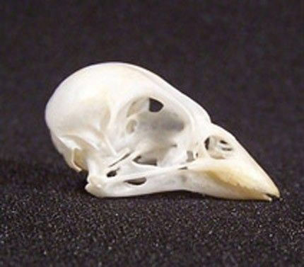 Sparrow Skull Real Taxidermy Bird Bone For Craft Jewelry Making Art Supplies Or Display