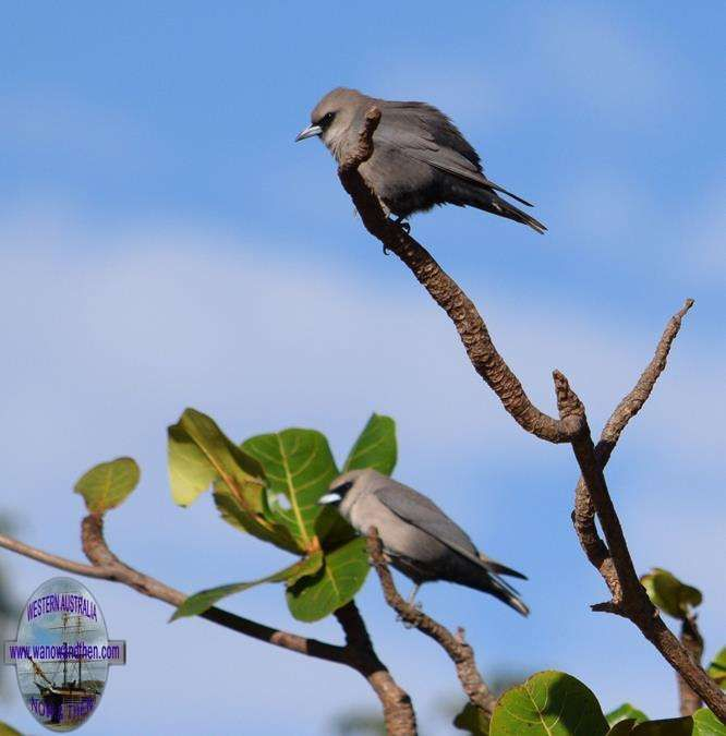 BIRDS OF WESTERN Black faced wood swallow - AUSTRALIA | Western Australia | www.wanowandthen.com