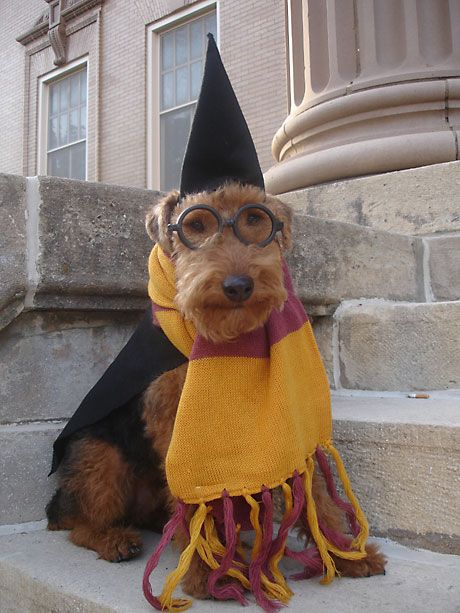 "Moe the Welsh Terrier in his ""Hairy Pawter"" costume"