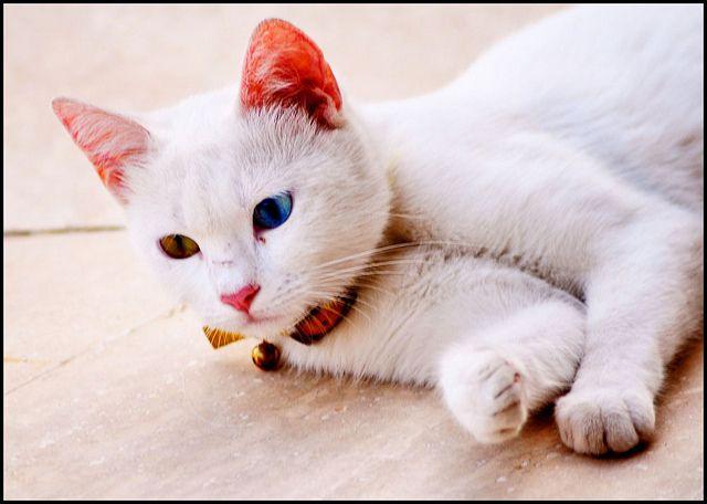 #TURKISH VAN CAT Gefällt mir, Repin, Share, Thanks! – Animals of Turkey
