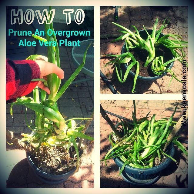 How To Prune An Overgrown Leggy Aloe Vera Plant   Aloe ...