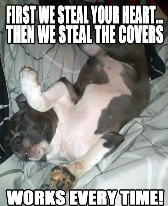 Dogs: First they steal your heart...then they steal your covers! Works every time!