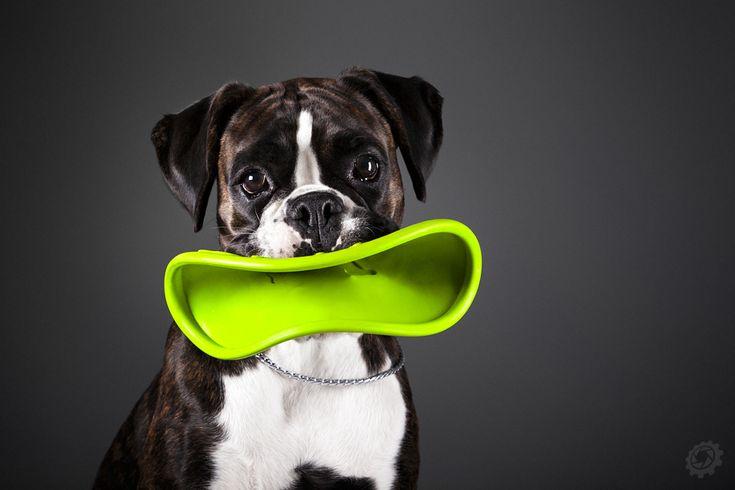 Smile (Boxer dog Enola G.) by luciekout on deviantART