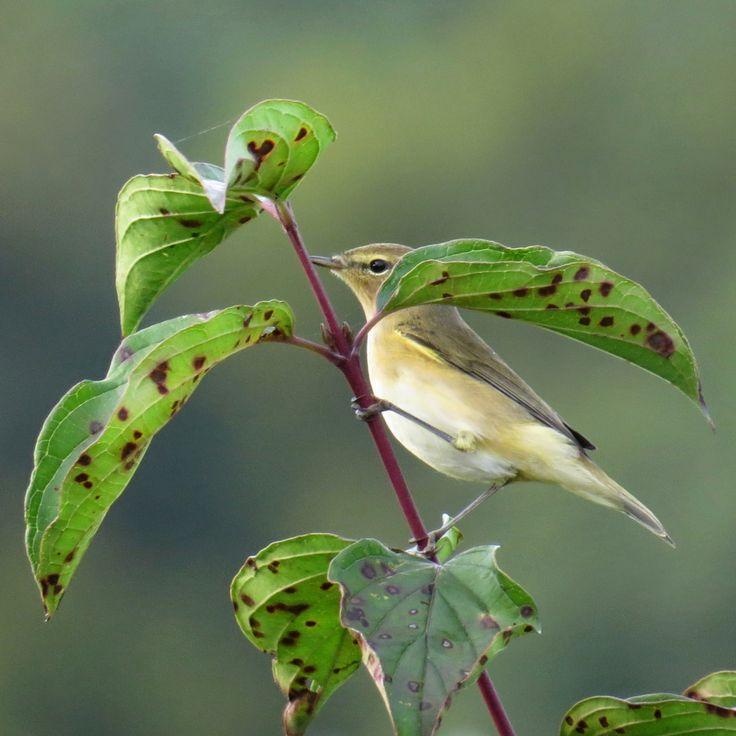 Fitis  (Van vroegevogels)